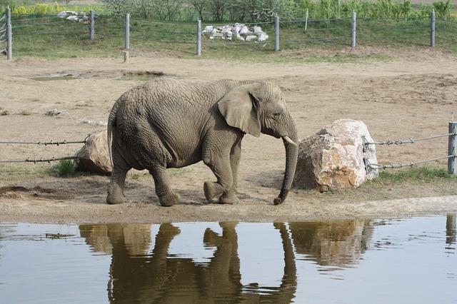 Anatomía del elefante » ELEFANTEPEDIA