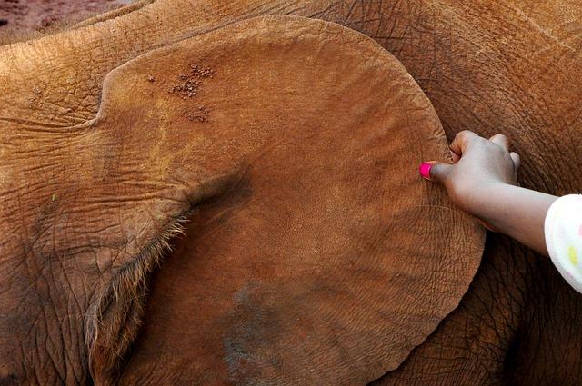 Las orejas del elefante » ELEFANTEPEDIA